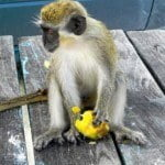 The Barbados Green Monkey