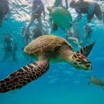 Beautiful green turtle, West coast, Barbados